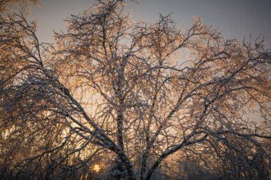 Nếu không có ánh sáng mặt trời chiếu xuyên qua cành cây, các chi tiết phủ băng của cây này sẽ rất mờ nhạt